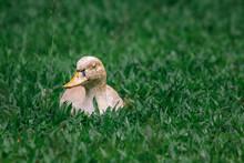 Duck On A Field