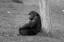 Chimpanzee Sitting On Field