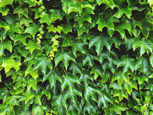 Full Frame Shot Of Ivy Growing On Plant