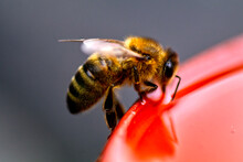 Close-up Of Honey Bee On Red Pot