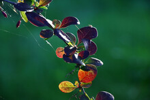 Part Of A Branch Of A Barberry With Leaves In Green And Claret Tones At Evening Solar Lighting. In Total Against The Background Of In Green Tones.