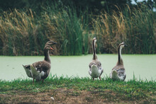Birds Standing At Edge Of A Green Pond