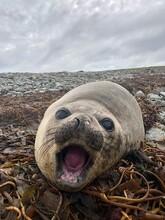 Elephant Seal In Falkland Islands