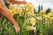 Senior Woman Gathering Flowers In Garden. Middle-aged Gardener Cutting Yellow Lilies Off With Pruner. Gardening Concept