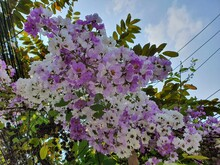 Pride Of India Has Purple And White Flowers. Properties For Diarrhea, As A Pressure Reducing Drug, Cure Urinary Tract Diseases.