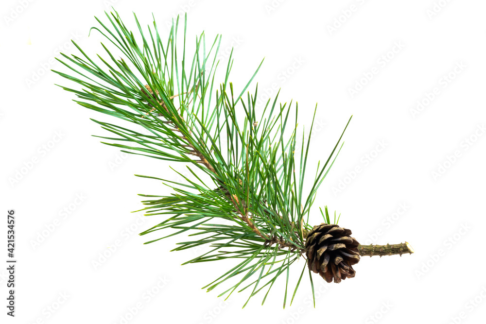 Obraz spring pine on a white isolated background fototapeta, plakat