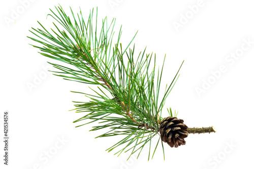 Fototapeta spring pine on a white isolated background obraz