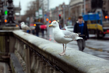 A Gull Walking On O'connell Bridge In Dublin On A Rainy Day.