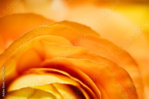 Fototapeta Macro de pétales de fleur orangée renoncule - Arrière plan design abstrait pétal
