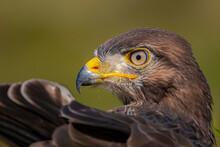 Close Up Of A Majestic Jackal Buzzard Juvenile