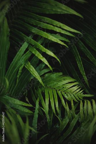 Canvas Print Dark green  Botanical ferns leaves nature background.
