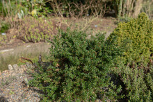 Spring Foliage And Flower Buds Of The Compact Dwarf Golden Barberry Shrub (Berberis X Stenophylla 'Corallina Compacta') Growing In A Rockery Garden In Rural Devon, England, UK