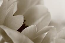 Tulip Close Up Black And White