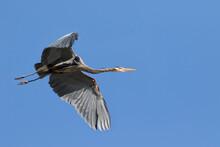 USA, Washington State, Redmond, Great Blue Heron (Ardea Herodias)