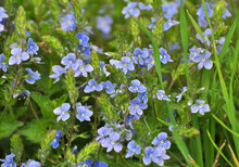 Veronica Chamaedrys Blooms In Nature