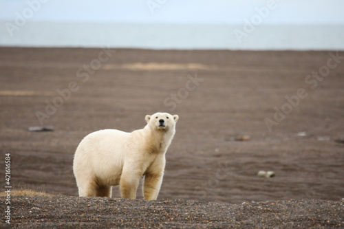 Canvastavla bear, polar, arctic, animal, polar bear, white, mammal, zoo, wildlife, fur, natu
