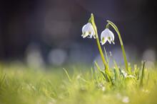 Blossoming Spring Snowflake Leucojum Vernum On Green Grass