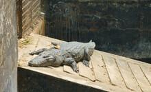 High Angle Shot Of A Huge Crocodile Sunbathing On A Concrete Surface