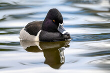 Ring-necked Duck (Aythya Collaris) Male Swimming With Its Reflection On A Canadian Lake