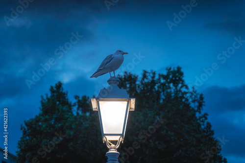 Obraz na plátně Singe Seagull, from Sternidae family, sitting on lit lamp of Ha Penny bridge on