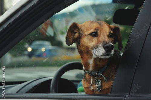 Fotografie, Tablou Dog Looking Through Car Window