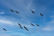 Herons Fly Into The Blue Sky