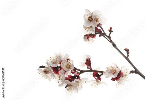 Fotografia Blooming spring flowers isolated on white background, with clipping path