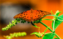 Gulf Fritillary (Agraulis Vanillae), Seattle, Washington State