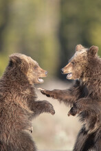 USA, Wyoming, Grand Teton National Park. Yearling Grizzly Cubs Play Fight.