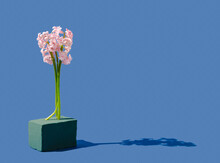 Creative Spring Background Made With Pink Hyacinth Standing On Green Floral Foam Brick Or Sponge. Blue Background. Minimal Concept.