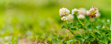 Red Clover Flowers In The Wild Green Grass. Panoramic View Of  Clover Flowers On Green Color Bokeh Background