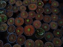 Golden Barrel Cactus Growing In A Garden