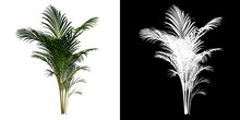 Front View Plant (Golden Cane Palm Dypsis Lutescens 2) Flower Tree Png White Background Alpha 3D Rendering 3D Ilustracion