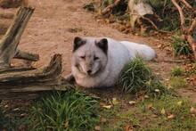 Portrait Of Arctic Fox Resting On Field