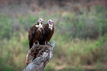 Two Vultures Perching On Wooden Log