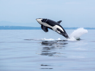 Orca Swimming In Sea Against Sky