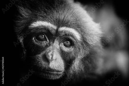 Fototapeta Close-up Portrait Of Gibbon