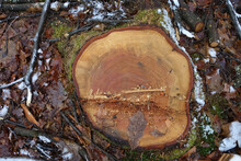 Top View Of A Tree Stump With Annual Rings In Winter