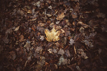 Top View Of A Single Light Leaf On A Heap Of Old Autumn Foliage