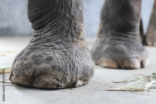 Fototapeta Close-up Shot Of An Elephant Feet obraz