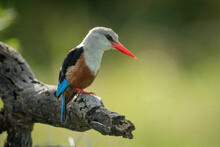 Grey-headed Kingfisher Looks Down From Dead Branch