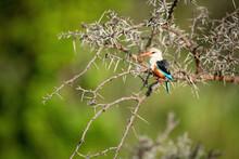 Grey-headed Kingfisher In Thornbush With Open Beak