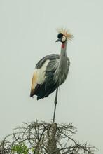 Grey Crowned Crane Watching Camera From Thornbush
