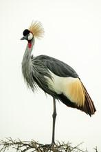 Grey Crowned Crane On Thornbush Watching Camera