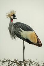Grey Crowned Crane On Thornbush Looking Round