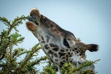 Close-up Of Masai Giraffe Feeding On Thornbush
