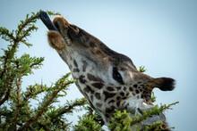 Close-up Of Masai Giraffe Eating Thornbush Leaves