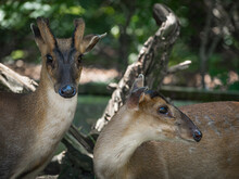 Closeup Shot Of Two White-tailed Indian Muntjac With Shiny Noses One Looking At The Camera I