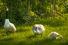 Beautiful View Of Geese Walking And Eating On The Grass On A Sunny Day