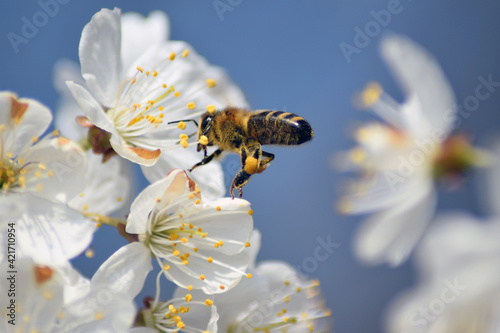 Close-up Of Bee Flying On Cherry Blossom Fotobehang